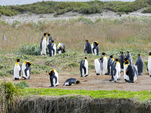 A colony of King Penguins Aptenodytes patagonicus resting in the grass at Parque Canvas Print