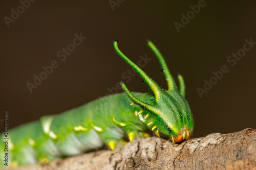 Photo  Image of Caterpillar of common nawab butterfly (Polyura athamas) or Dragon-Headed Caterpillar on nature background