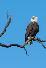 A Fierce American Bald Eagle P...