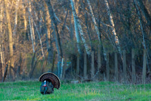 Eastern Wild Turkey (Meleagris...