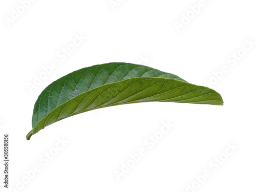 Fototapety, obrazy: Green leaf or green leaves on white background. Psidium guajava leaf or guava leaves Isolated on white background.