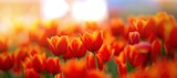Fototapeta Tulips - field of red tulips , spring-blooming and the flowers are usually large , so beautiful in garden