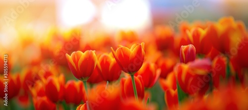 Obraz na plátně field of red tulips , spring-blooming and the flowers are usually large , so bea