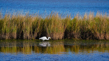 A Snowy White Egret Is On The ...