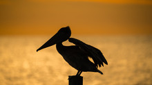 Silhouette Of A Pelican Bird O...