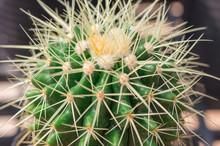 Golden Ball Cactus (Echinocact...