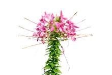 Spider Flower Pink Color Isola...