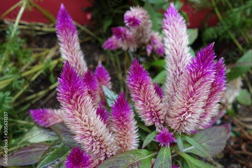 屋外に咲いた紫のケイトウの花 Canvas-taulu
