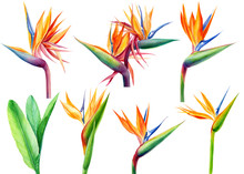 Set Tropical Bright Flowers And Leaves, Paradise Flower, Strelitzia On White Background, Watercolor Illustration, Botanical Painting