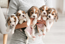 Owner With Cute Beagle Puppies At Home