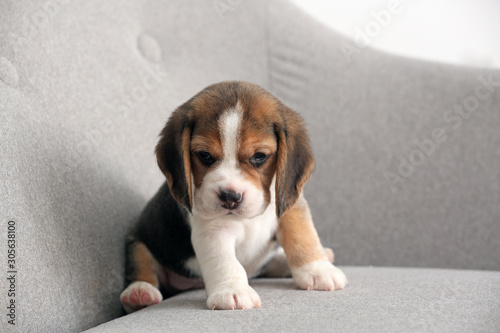 Cute beagle puppy on sofa Canvas Print