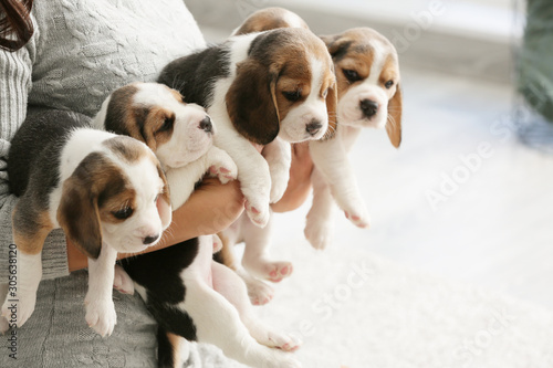 Owner with cute beagle puppies at home Canvas Print