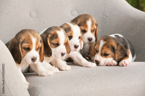 Fototapeta Cute beagle puppies on armchair obraz