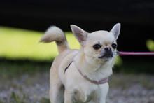 Cagnolino Chihuahua A Pelo Cor...