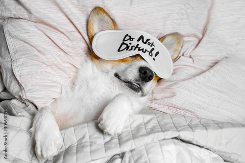 Obraz Cute Corgi Sleeps On The Bed With Eye Mask. Live with schedule, time to wake up. - fototapety do salonu
