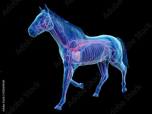 3d rendered medically accurate illustration of the equine anatomy - the vascular Fototapeta