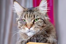Close Up Portrait Of Cat Maine...