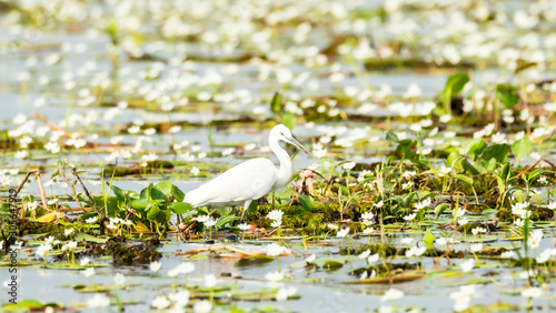 Photo Little egret (Egretta garzetta) walking in Bueng Boraphet lake (the largest freshwater swamp and lake in central Thailand)
