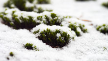 Green Moss On A Snowy Background