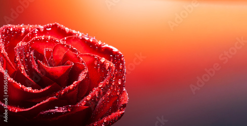 Fototapeta rose flower with water drop on red background obraz