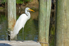 Wide Shot Of A Great Egret (Ardea Alba) On A Dock In Florida's Crystal River. Great Egrets Were Nearly Hunted To Extinction For Their Beautiful Feathers.