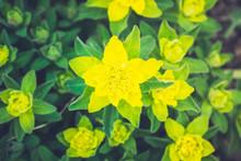 Blooming Euphorbia In The Garden. Selective Focus.