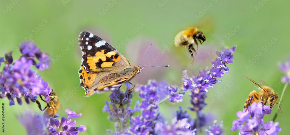 Fototapeta few honeybee and butterfly on lavender flowers in panoramic view