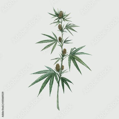 Valokuvatapetti Beautiful vector watercolor medical marijuana illustration