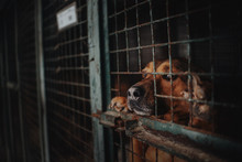 Sad Animal Shelter Dog Behind Bars In A Cage