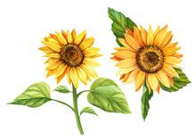 Sunflower On Isolated White Ba...