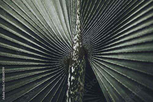 Obraz na plátne Close-up of Leaves of Bismarck palm tree (Bismarckia nobilis).