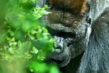 Gorilla Monkey Half Hidden By ...