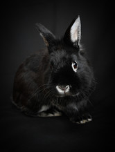 Black And White Rabbit Isolated On A Black Background