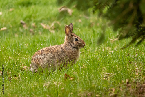 Fototapeta A wild, brown rabbit browses near shrubbery on a spring day.