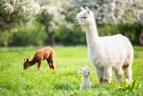 Fototapeta Zwierzęta - White Alpaca with offspring, South American mammal