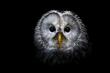Ural Owl With A Black Background