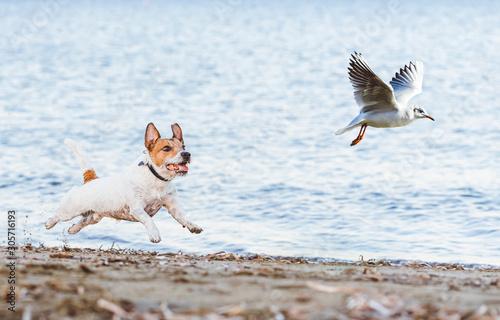 Photo Naughty Dog chasing gull bird playing on beach