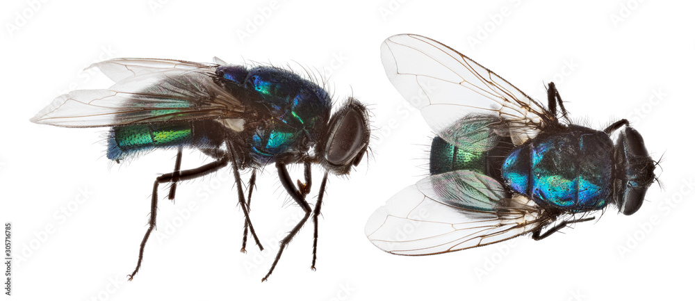 Fototapeta blue and green fly two views on white