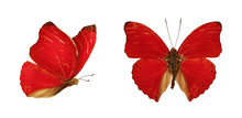 Two Beautiful Red Butterflies Cymothoe Excelsa Isolated On White Background. Butterfly Nymphalidae With Spread Wings And In Flight.