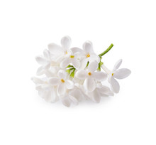 Branch Of White Lilac Flowers ...