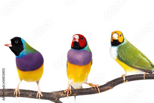 Gouldian finch Bird Poster Mural XXL