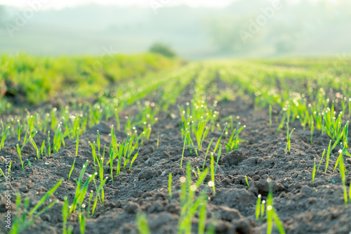 Agricultural field with green shoots of plants Fototapete