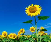 Sunflower Field With Cloudy Bl...