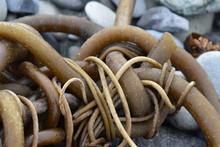 Knotty Messy Kelp