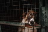 Fototapeta Zwierzęta - sad dog posing behind bars in an animal shelter
