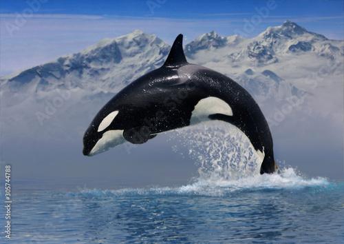Photo Schwertwal (Orcinus orca)  sprung aus Wasser vor Bergkulisse