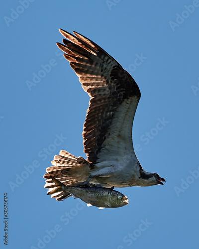 Osprey in Flight With Catch XXIV Canvas Print
