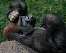 Western Lowland Gorilla XIV
