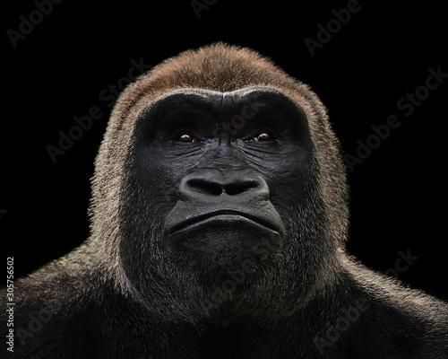Cuadros en Lienzo Western Lowland Gorilla XV