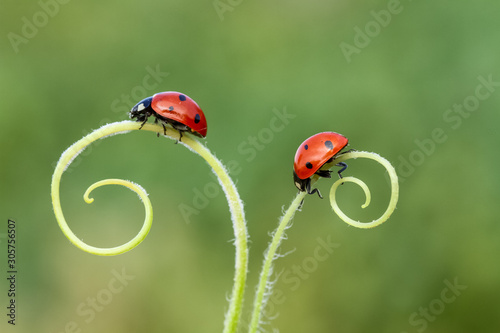 Fototapeta ladybug on green grass
